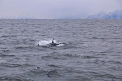 Orki Norwegia 2007