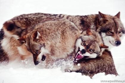 Tropienie zwierząt